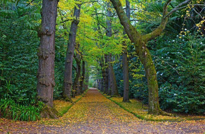 Gingko stromy